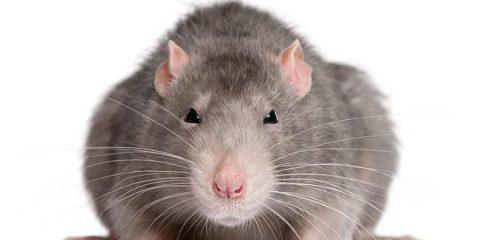 typical UK rat - weils disease